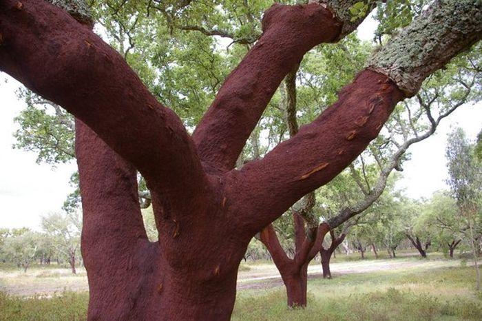 Bu ağacın kabuğundan bakın ne yapılıyor
