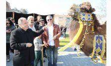 Selçuk'ta Deve Güreşleri Festivali coşkusu başladı