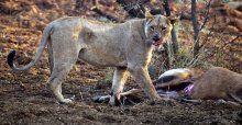 Aslan, avının hamile olduğunu görünce bakın ne yaptı
