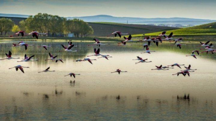 Düden Gölü'nün zarif misafirleri; flamingolar
