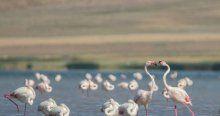 Erçek Gölü'nde flamingoların görsel şöleni