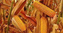 Çukurova çiftçisinin mısırda fiyat beklentisi