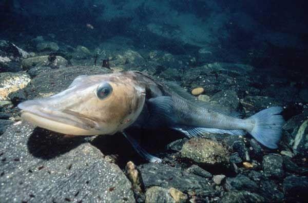 Bu balığın kanının rengi yok