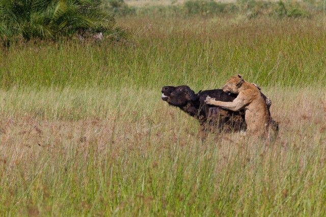 Bufalo yavrusu için ölümüne savaş