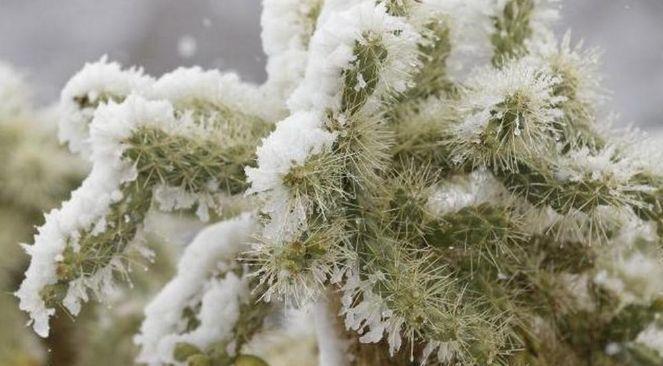 Çöldeki kaktüslerin üstüne kar yağdı!