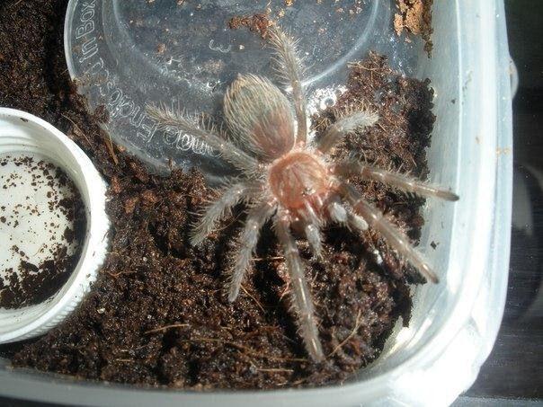 Örümceğin deri değiştirmesi böyle görüntülendi!.