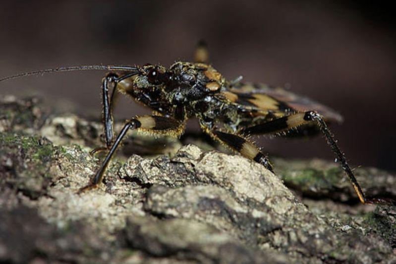 Bu böcek sırtında ceset taşıyor!