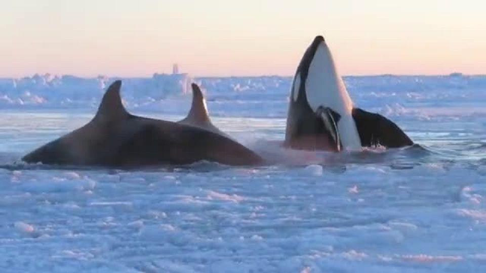 Buzulda sıkışan katil balinalar kurtarılmayı bekliyor