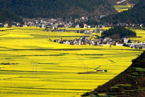 Çin'de inanılmaz sarı çiçek tarlaları