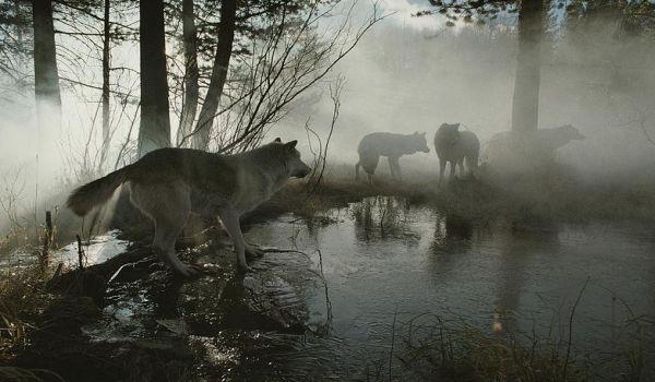 Vahşi kurtlarla dağda 6 yıl