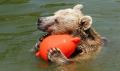 Sıcaktan bunalan boz ayılar soluğu havuzda aldı