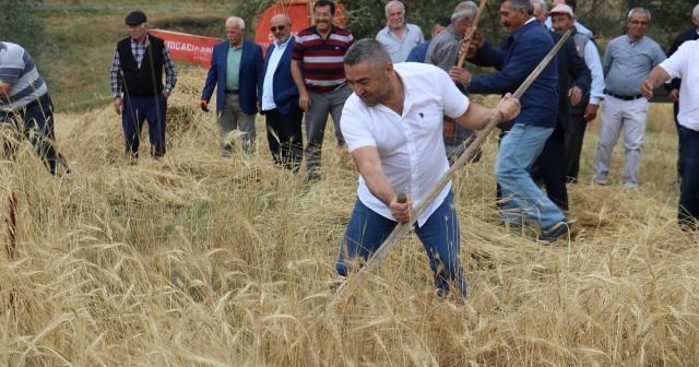 2 bin yıllık ata tohumu buğday verdi