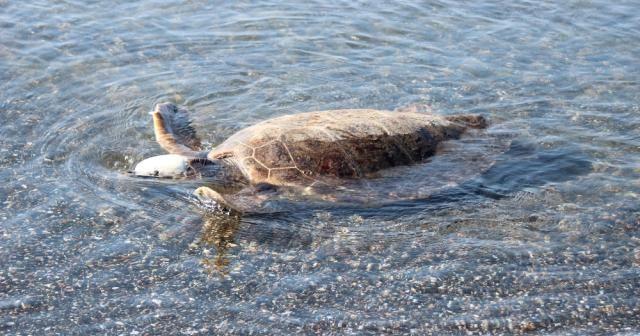 591 bin yavru deniz kaplumbağası denizle buluştu