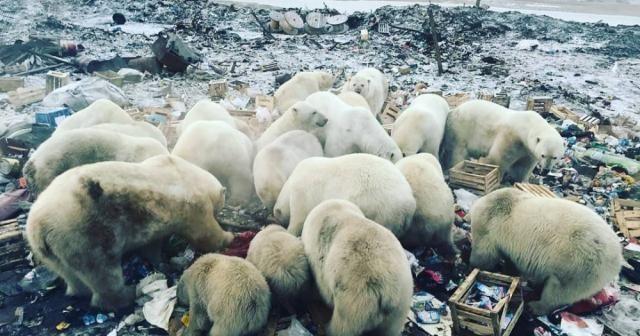 Rusya'da kutup ayıları şehre indi