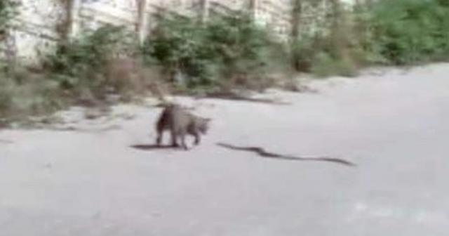 Kedinin yılanla kavgası kamerada