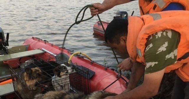 Sele kapılan hayvanlar nehirden toplanıyor