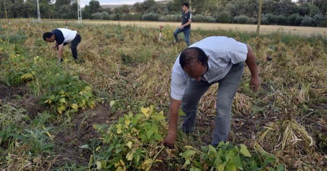Köse'de kuru fasulye hasadı başladı