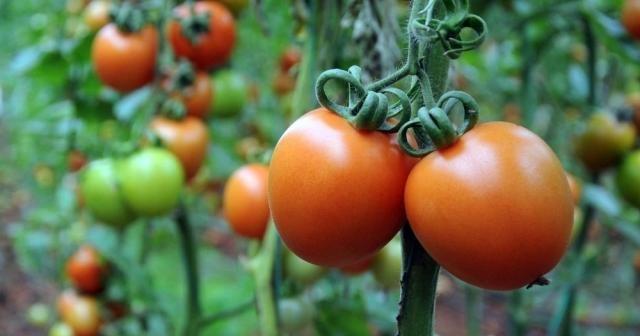 Kasımın zam şampiyonu domates
