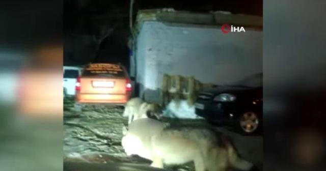 Kazakistan'da aç kalan kurtlar şehre indi