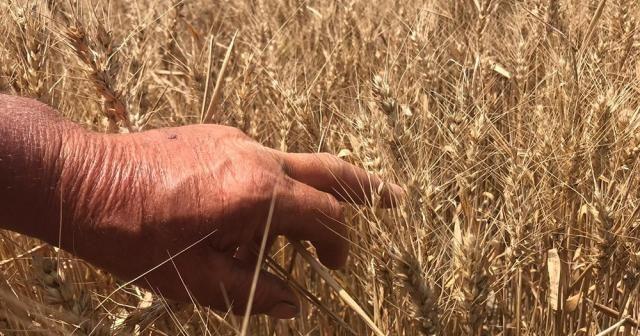 Dolu yağışları buğday ve arpa verimini yarı yarıya düşürdü