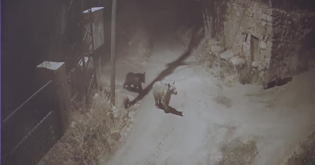 Köye inen ayılar 2 bin liralık bal yedi, görüntüler kameralara yansıdı
