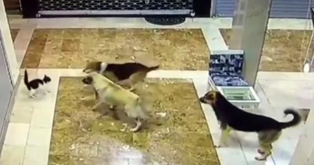 Yavrusuna saldıran 3 köpeği böyle kovaladı