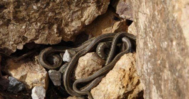 Yüksekova'da sürü halindeki yılanlar Brezilya'nın 'Yılan Adası'nı andırıyor