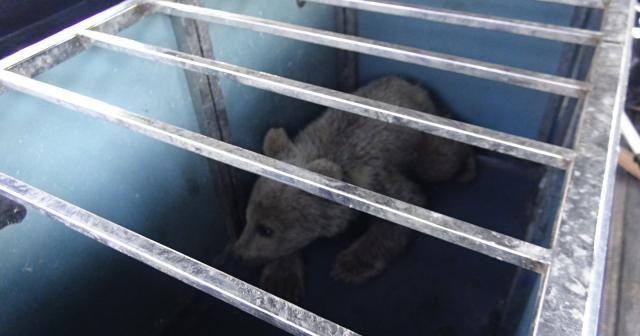 Köpeklerin saldırısına uğrayan yavru ayıyı vatandaşlar kurtardı