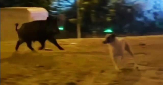 Şehre inen yaban domuzu köpekleri kovaladı