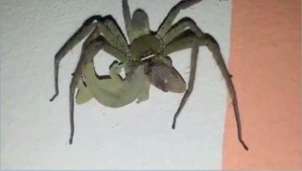 Tarantula'nın kertenkele ziyafeti