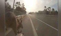 Kanguru aniden yola atlayınca
