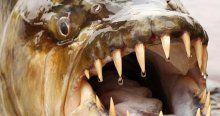 Dalıyor çıkıyor dev sazan balıklarını eliyle yakalıyor