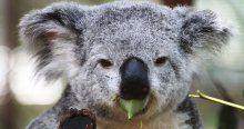 Açılın ben Doktor Koala!