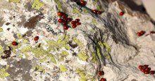 Uğur böcekleri Çimen Dağı'nın zirvesini mesken tuttu