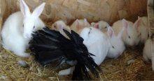 Tavşan yavrularına annelik yapan güvercin!