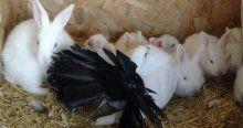 Tavşan yavrularına güvercin annelik yapıyor