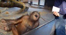 İllüzyon gösterisi, orangutanı gülme krizine soktu