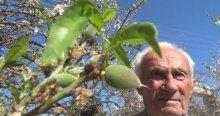 Badem ağaçları meyve vermeye başladı