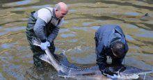 Mersin balığı koruma altında